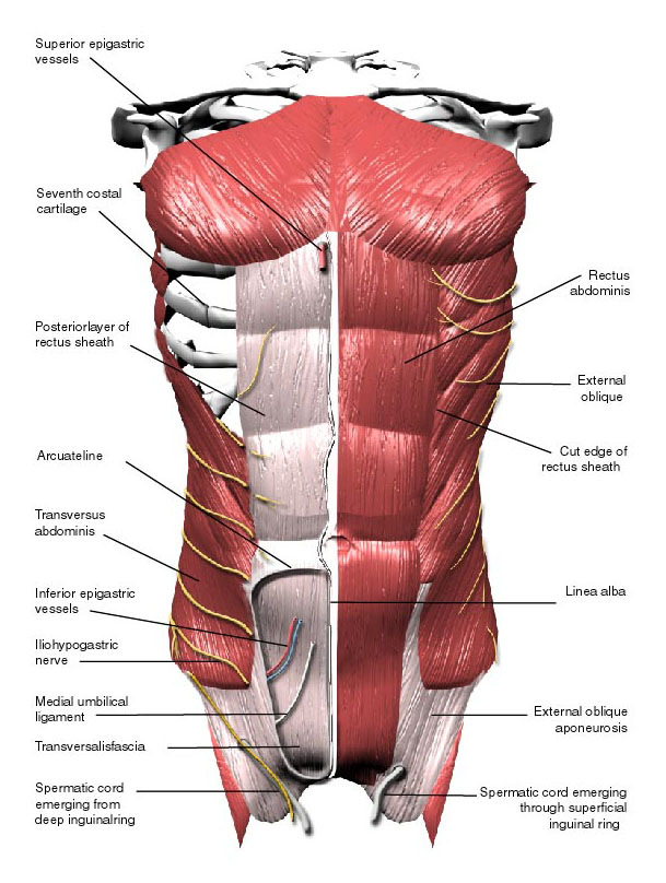 Abdominal Muscles Labeled Eccles Health Sciences Library J