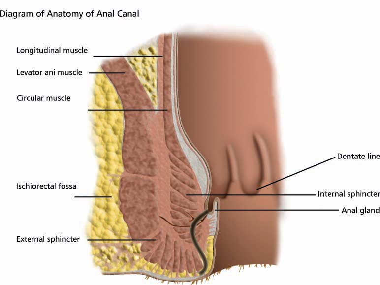 Diagram Of Anatomy Of Anal Canal Labeled Eccles Health Sciences