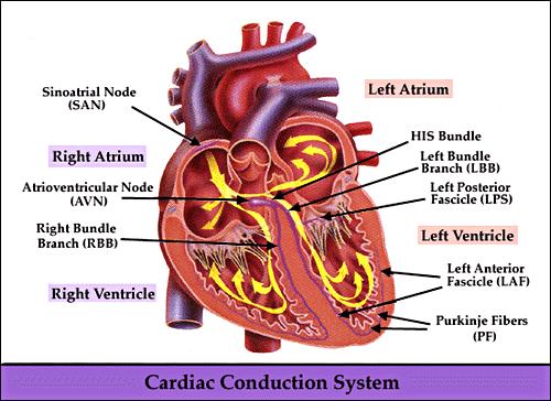 Rabbit heart diagram