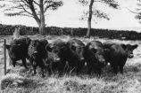 Galloways P.2