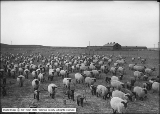 Deseret Sheep Company, Hampshire Ewes and Lambs