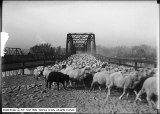 Sheep on Bridge (close), Green River, Utah