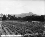 George E. Gunn Farm, Beans and Strawberries Towards Mountains