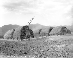 Hay Stacks on W. W. Nelsen Field