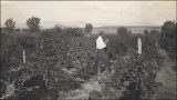 """Alex Mornig vinyard, Washington field.  Malaga grapes."""