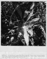 #R524-11.  A species of parasitic fern four at Everglades National Park.  This fern lives a few...