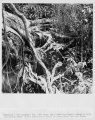 #R523-10.  The struggle for life among the plants is clearly shown in this photograph taken on the...