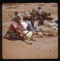 A group of Navajo men sheering sheep (Haycocks).