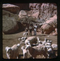 A group of Navajo boys.  Sheep in the photograph as well.