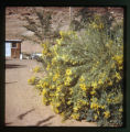 Flower bush with yellow petals. January 1972