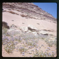 Purple flowers covering the desert floor.