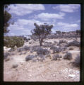 A desert landscape.  There is a tree in the middle of the image with sagebrush all around.  There...