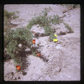 Garden, flowers with red and yellow petals. September 1973.