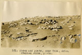 181. Sheep and goats, near Tuba, Ariz. Stephen Janus, photo.