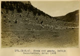 171. (N-M.4). Sheep and goats, Navajo Reservation, Arizona. 1909;