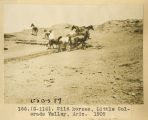 166. (G-114). Wild horses, Little Colorado Valley, Arizona 1909;