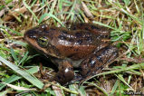 Oregon Spotted Frog release calls (adult)