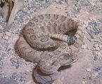 Great Basin Rattlesnake 3
