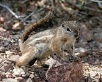 Harris's antelope squirrels