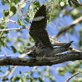 Common Nighthawk dive