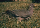 Band-tailed Pigeon 1