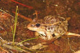 Relict leopard frogs and canyon treefrogs - extended ambient recording (080320_T9_MSdn)