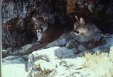 Mountain Lion 2