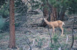 Mule Deer crashing through brush and vocalizing