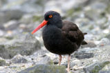 Black Oystercatcher 2