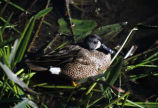 Blue-winged Teal 3