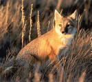 Swift Fox 1