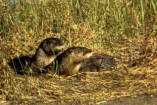 North American River Otter chirps 2