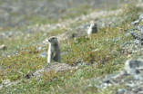 National Park Service audio recording - Denali National Park - Arctic Ground Squirrel