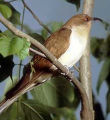 Black-billed Cuckoo 1