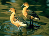 Fulvous Whistling-Duck 1