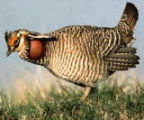 Lesser Prairie-chicken 2