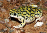 Sonoran Green Toad 1