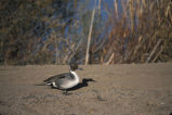Northern Pintail (0702-294)