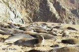 Elephant seals at Point Reyes National Seashore 1