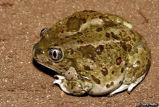 Great Basin Spadefoot calls (group)