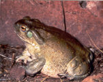 Colorado River Toad 2