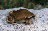 Great Plains Narrowmouth Toad 2
