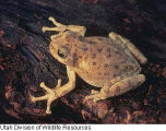 Canyon Treefrog