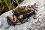 Northern Red-legged Frog underwater calls 4