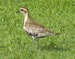 Pacific Golden-Plover 2