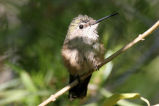Calliope Hummingbird wing buzz (Idaho) 1