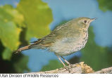 Hermit Thrush song (Idaho) 2