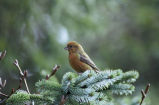 Red Crossbill - South Hills form - calls perched