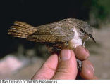 National Park Service audio recording - Grand Canyon National Park - Canyon Wren 2