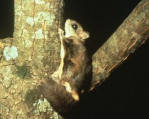 Northern Flying Squirrel chuck sound